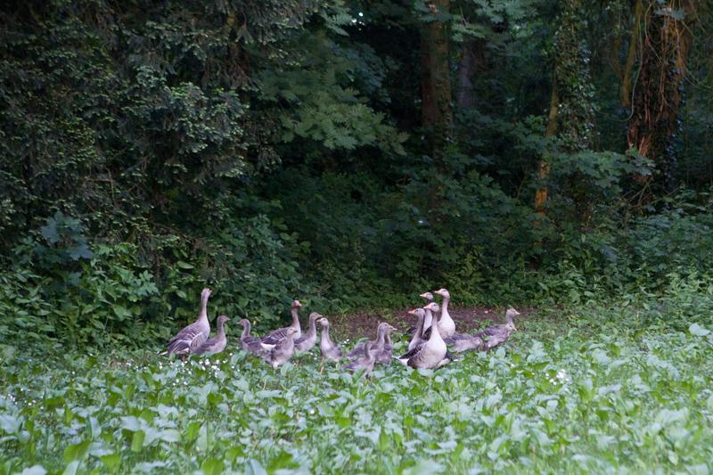 Ganzen in het Wickenburghse bos - Werfzeep