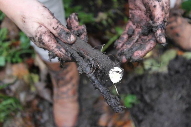 smeerwortel, comfrey root
