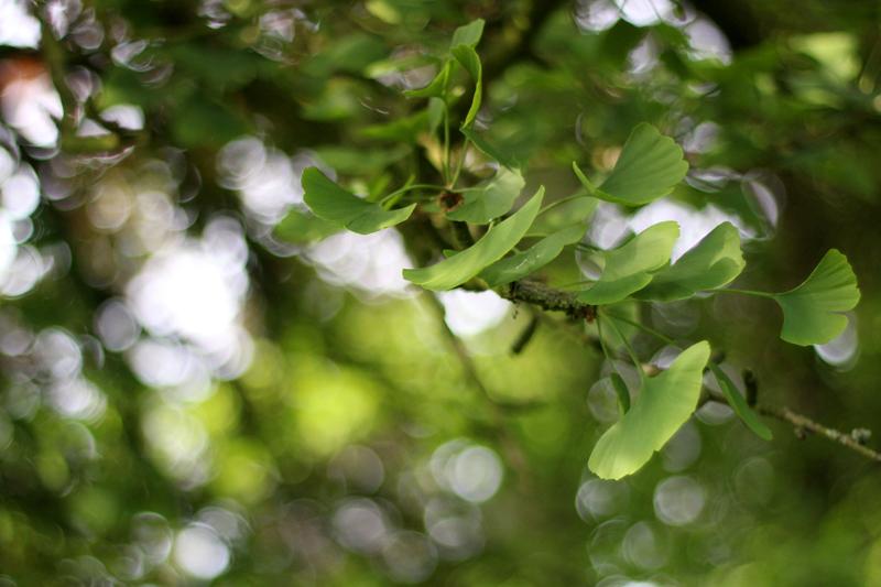 Boszeep met Ginkgo Biloba uit het Wickenburghse bos - Werfzeep