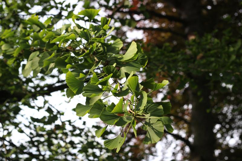 Ginkgo voor onze Boszeep - Wickenburghse bos - Werfzeep
