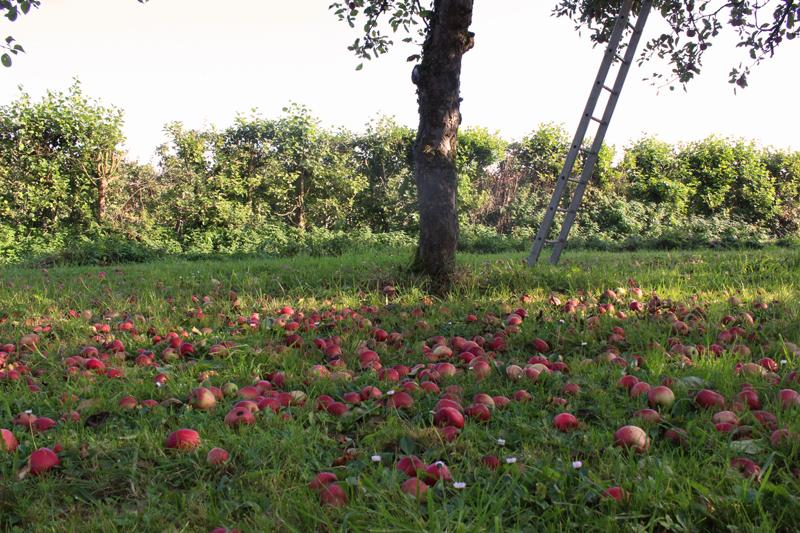 Appels plukken op landgoed Wickenburgh - Werfzeep