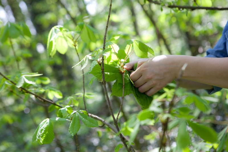 Paardenkastanjeblad oogsten - bosoogst op Wickenburgh - Werfzeep