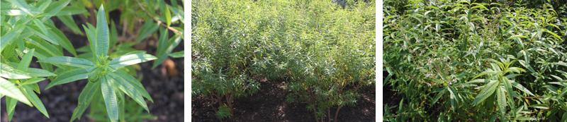 Deze foto's heb ik op 15 september genomen. In de Botanische Tuinen staat een ruim bed met een tiental heesters citroenverbena. - Werfzeep