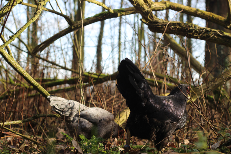 Onze kippen - Voorjaar in het bos - Werfzeep