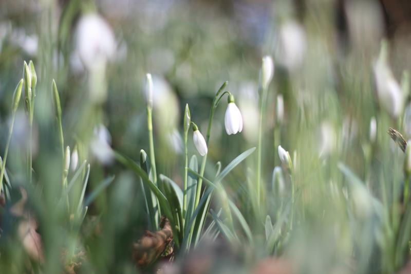 Sneeuwklokjes - Voorjaar in het bos - Werfzeep