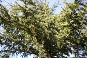 Libanonceder in de Botanische Tuinen Utrecht - Werfzeep