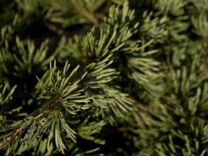Libanonceder Cedrus Libani voor onze Botanische Tuinenzeep 3 - Werfzeep