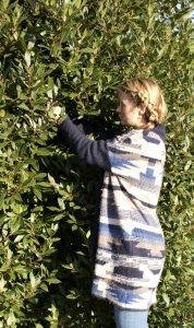 Evelien oogst Laurier (Laurus nobilis) in de Botanische Tuinen Utrecht