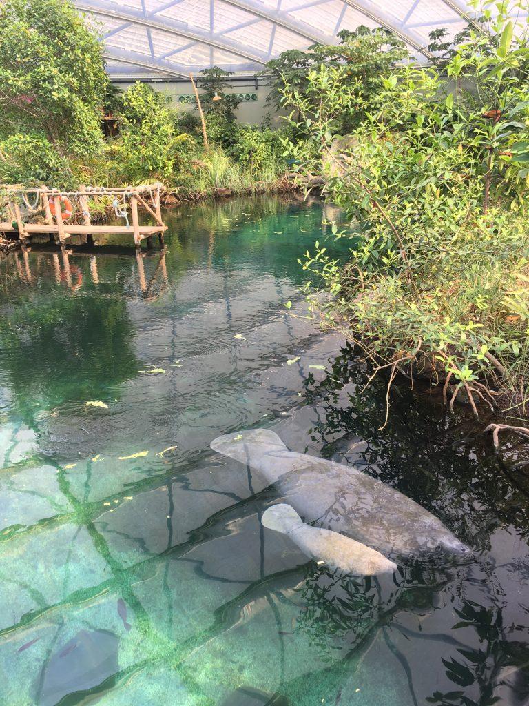 Zeekoe baby in de Mangrove Burger's Zoo - Werfzeep