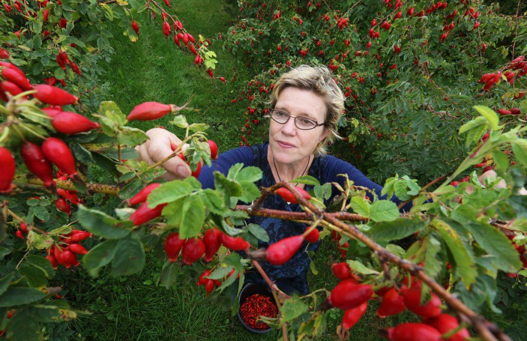 Zeep met rozenbottels - Werfzeep - Emmelie tijdens de jaarlijkse oogst bij kwekerij De Rozenbotteltuin