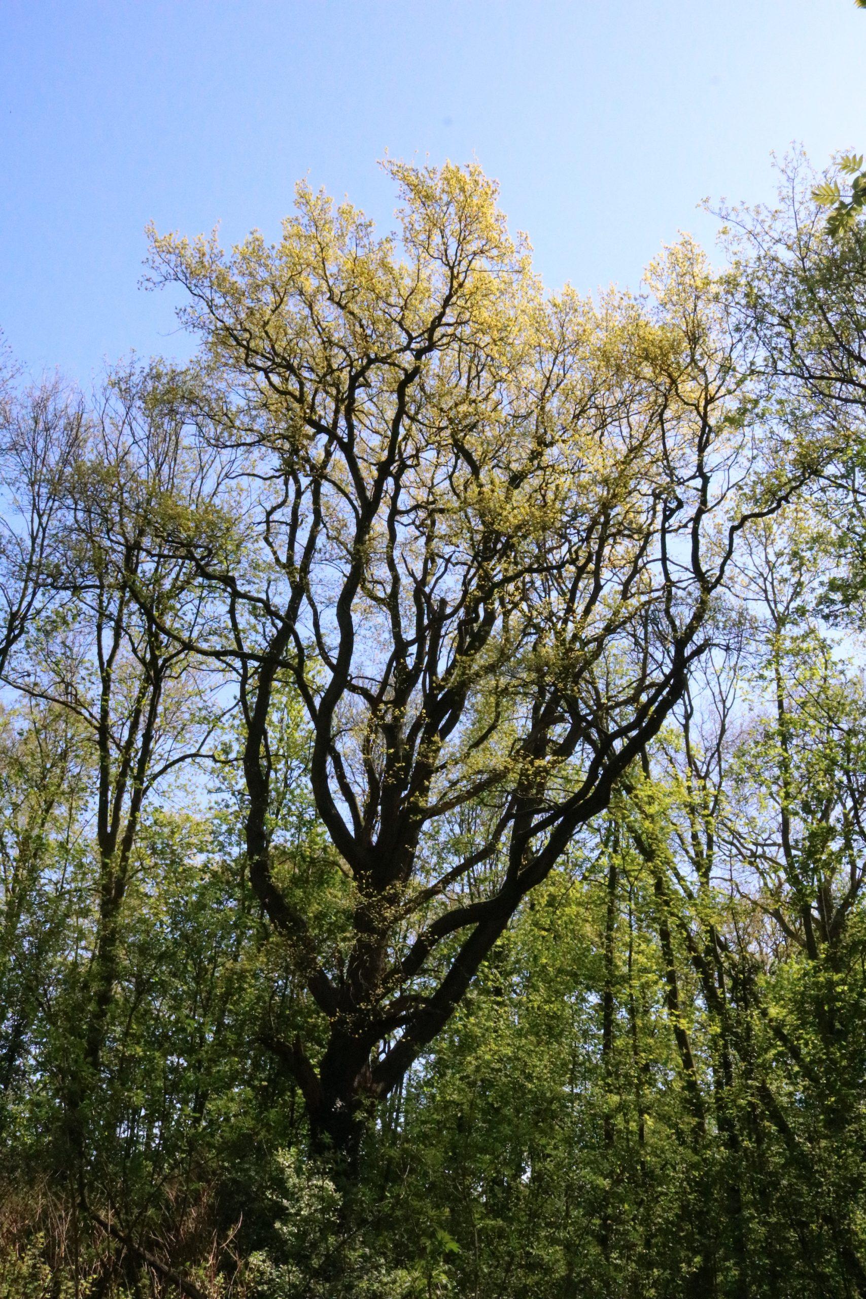 De oudste zomereik van Wickenburgh - Werfzeep