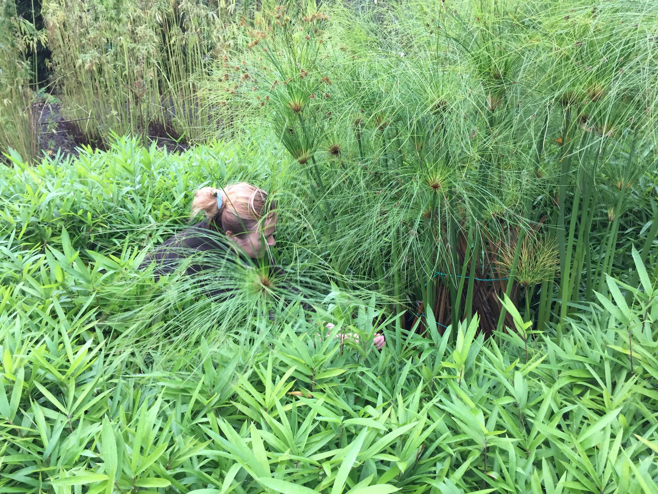 werfzeep papyrus Evelien oogst papyrusstengels in de botanische tuinen