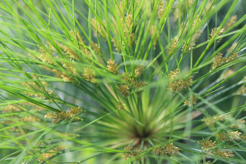 werfzeep papyrus botanische tuinenzeep