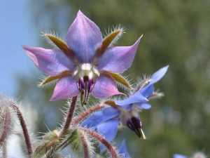 ingredient-borage Werfzeep kruidenshampoo