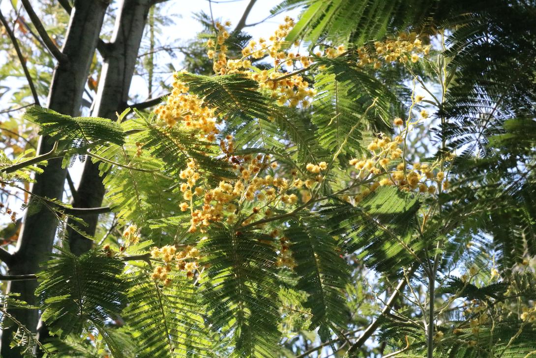 Werfzeep Acacia dealbata nitrogen fixer