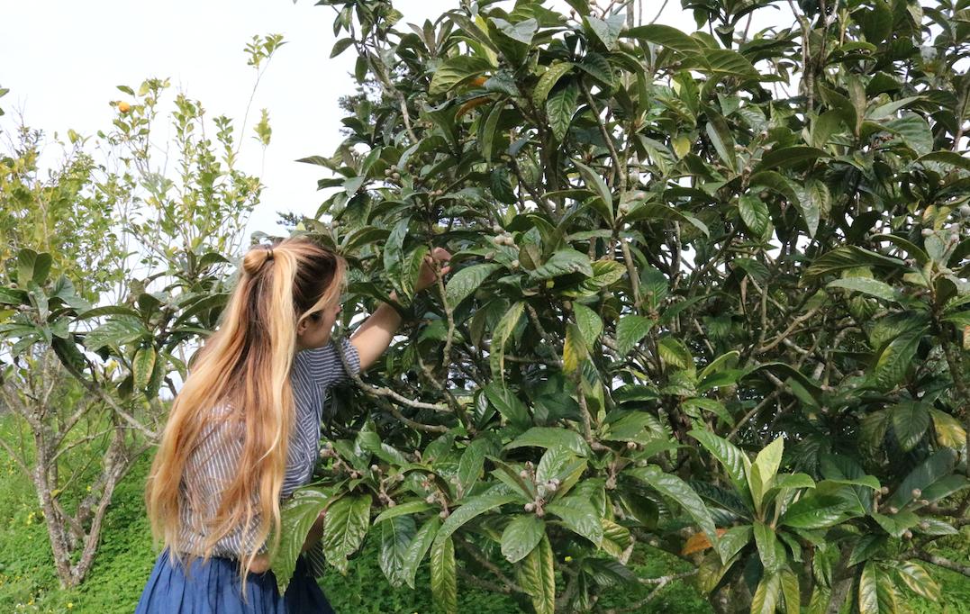 Evelien 'dieft' de subtropische loquatboom