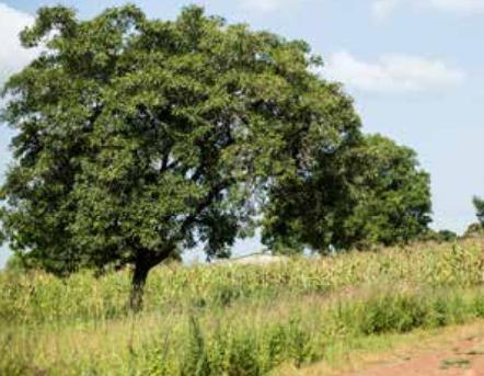Savannezeep - Werfzeep - savanne van de Sahel