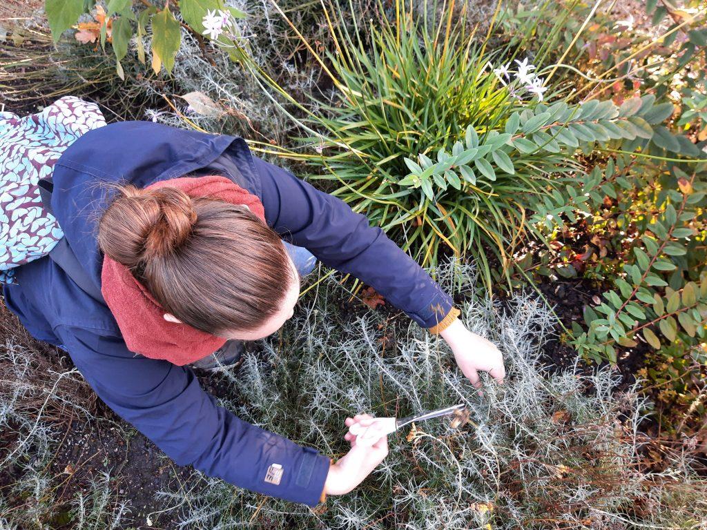 Werfzeep Botanische Tuinen helichrysum terugsnoeien