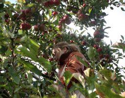 Evelien hoog in de boom tussen de appels