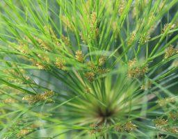 Papyrus in de Botanische Tuinen - Werfzeep