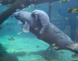zeekoekalf
