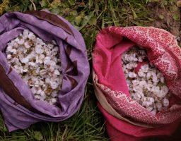Werfzeep bloesemzeep kersenbloesems plukken wildplukken oogst